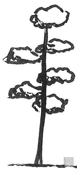 chokkan 直幹 tree shape