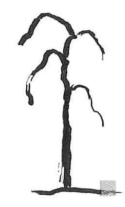 weeping tree shape