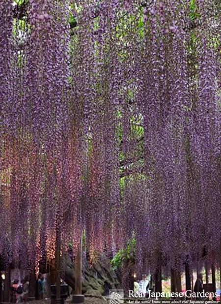 Fuji Wisteria Floribunda Ashikaga Flower Park